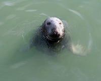 Seal mammal. Animal flippers whiskers Ireland Stock Photo