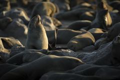 Seal among many in a seal colony. Seal among many in a seal colony, Cape Cross stock images