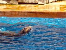 Seal, Master, Pool, Park, Cabárceno Royalty Free Stock Photos
