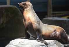 Seal in melbourne zoo Royalty Free Stock Photos
