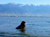 Seal with Mountains Stock Image