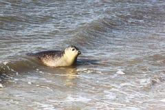 Seal near dutch village of Hollum, Ameland stock photos