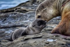 Seal with newborn pup