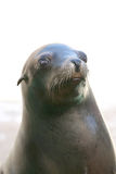 Seal nose Royalty Free Stock Image