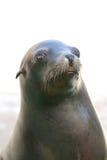 Seal nose Royalty Free Stock Image