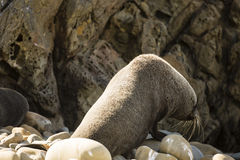Seal in NZ Royalty Free Stock Photography