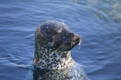 Seal in Oceanarium Stock Photography