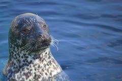 Seal in Oceanarium Royalty Free Stock Photo