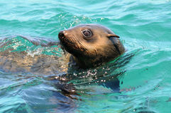 Seal On Dyer Island,south Africa Royalty Free Stock Photos