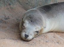 Seal royalty free stock image