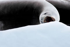 Seal with open mouth on ice floe, Antarctic Peninsula Royalty Free Stock Image