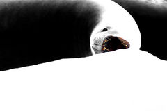 Seal with open mouth on ice floe, graphic designed image, Antarctic Peninsula. Antarctica Stock Photography