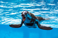 Seal with open muzzle in pool water royalty free stock photo
