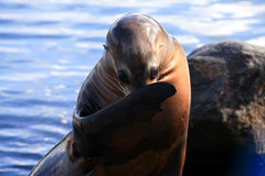 Seal out of the water Royalty Free Stock Photos