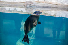 seal peeking out of the water Stock Photo