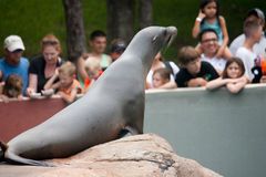 Seal Performing for Crowds at Amusement Park. A seal performs for a crowd at an amusement park Royalty Free Stock Image