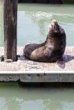 Seal at Pier 39. Seal laying at Pier 39 in San Francisco Royalty Free Stock Photography