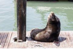 Seal at Pier 39 Royalty Free Stock Photos
