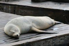 Seal Pier 39 San Francisco Royalty Free Stock Photo