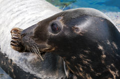 Seal (Pinniped) Royalty Free Stock Image
