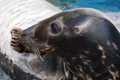 Seal (Pinniped) Royalty Free Stock Image