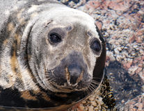Seal (Pinnipeds, often generalized as seals) Royalty Free Stock Photo