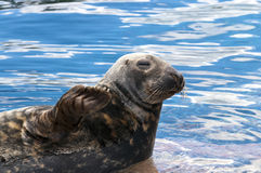 Seal (Pinnipeds, often generalized as seals) Stock Photos