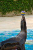 Seal playing with a ball. Seal playing with a blue and yellow ball Stock Photography
