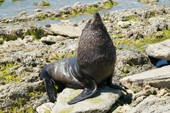 Seal playing over sea rock stock photos