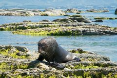 Seal playing on sea coast stock images