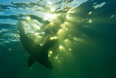 Seal playing underwater Royalty Free Stock Photos
