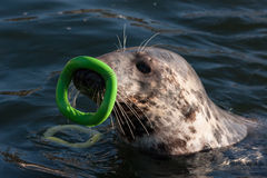 Seal playing in water. Seal swimming and playing with a green toy on its nose Royalty Free Stock Images