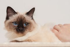 A seal point Birman cat being stroked by a woman`s hands Stock Image