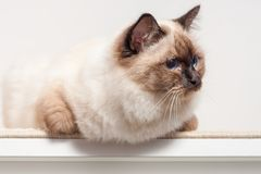 A seal point Birman cat, male sitting on the chest of drawers. A seal point Birman cat, 9 month old kitten, male with blue eyes sitting on the chest of drawers Royalty Free Stock Images