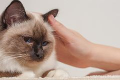 A seal point Birman cat being stroked by a woman`s hands Royalty Free Stock Images