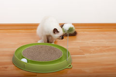 A seal point Birman cat, 4 month old kitten, male. A seal point Birman cat, 4 month old kitten, male with blue eyes playing with scratch pad with ball stock image
