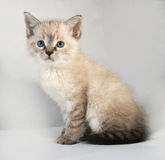 Seal point kitten with blue eyes sitting on gray Stock Images