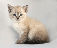 Seal point kitten with blue eyes sitting on gray Stock Photography