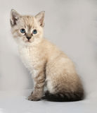 Seal point kitten with blue eyes sitting on gray Royalty Free Stock Image