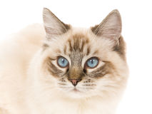 Seal point lynx Ragdoll on white background Stock Images