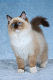 Seal point Ragdoll on blue background Royalty Free Stock Photos