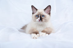 Seal point Ragdoll kitten showing off white paws. Ragdoll kitten full body lying down on folds of white soft fabric background royalty free stock images