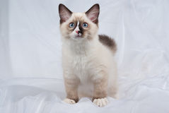 Seal point Ragdoll kitten standing up. Ragdoll kitten full body standing in folds of white soft fabric background royalty free stock images