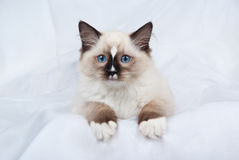 Seal point Ragdoll kitten on white fabric Stock Photography