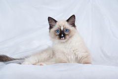 Seal point Ragdoll kitten on white fabric. Ragdoll kitten full body lying down on folds of white soft fabric background showing off startling blue eyes Royalty Free Stock Photo