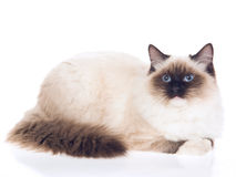 Seal point Ragdoll on white background Royalty Free Stock Photos