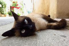 Seal point Siamese cat lying down outdoors Stock Photos