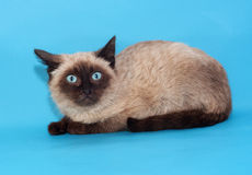 Seal point Siamese kitten with blue eyes Royalty Free Stock Photography