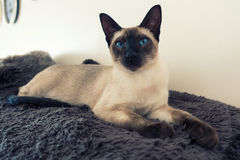 Seal point Siamese Royalty Free Stock Photo