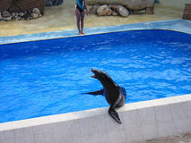 Seal on the pool Stock Image